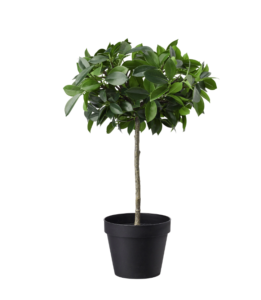 plant-80cm-1125